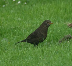 Ireland's Top 20 + garden birds - Irish Garden Birds