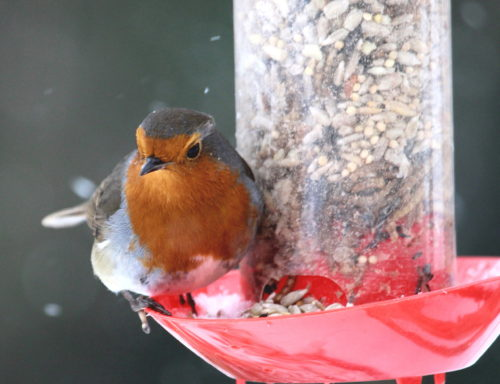 Robin on