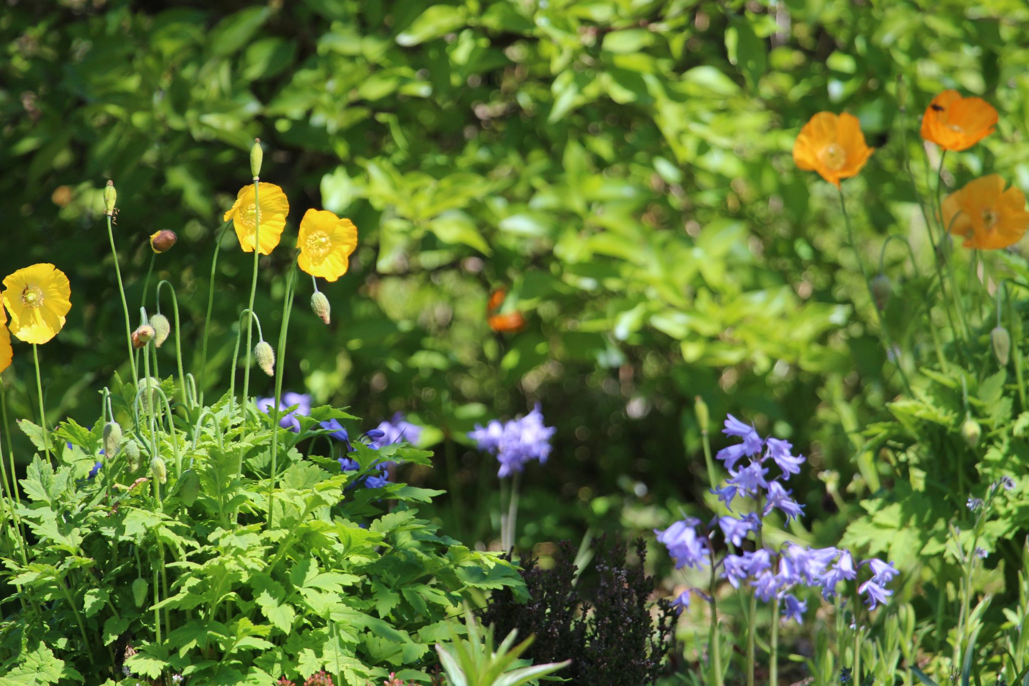 BBluebells and Welsh Poppies