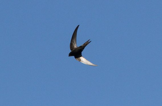 celebrating Swifts