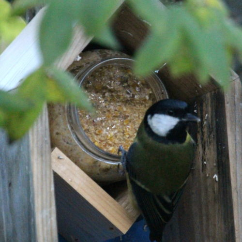 Great Tit feeding on peanut butter