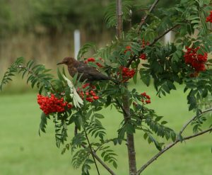 Blackbird feeding on Rowan berries