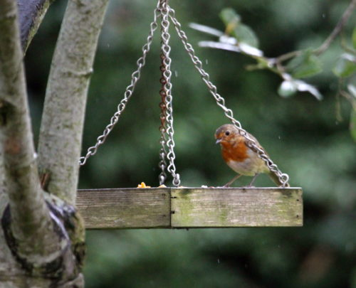 Robin on bird table